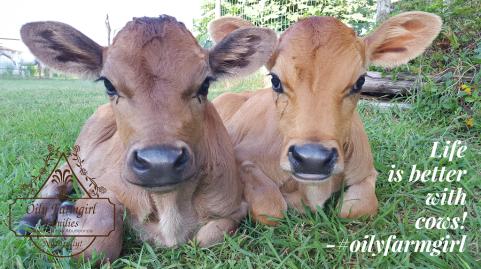 cows-at-the-farm