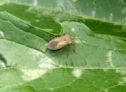 squash-bugs-pests